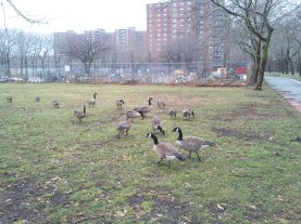 Canadian Geese at Rochdale Village, Jamaica, Queens, NY