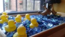 Ducks vs. Geese